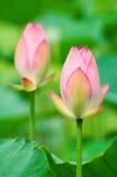 Roze lotusbloembloemen Royalty-vrije Stock Fotografie