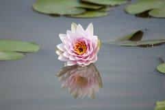 Roze lotusbloembloemen en bladeren. royalty-vrije stock foto