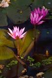 Roze lotusbloembloemen met droge bloemachtergrond Stock Afbeelding