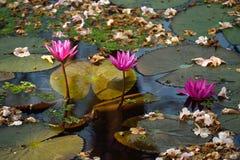 Roze lotusbloembloemen met droge bloemachtergrond Stock Foto