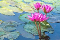 Roze lotusbloembloemen op aardachtergrond royalty-vrije stock foto