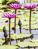 Roze lotusbloembloesem of waterleliebloem die op vijver bloeien stock fotografie