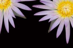 Roze lotusbloembloesems Royalty-vrije Stock Afbeeldingen
