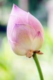Roze lotusbloemknop Stock Foto
