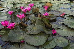Roze lotuses Royalty-vrije Stock Afbeelding