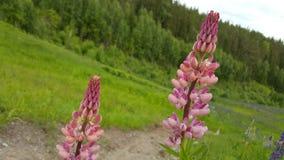 Roze Lupine royalty-vrije stock foto
