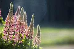 Roze lupinebloemen stock afbeelding