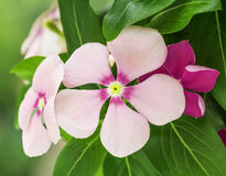 Roze Maagdenpalmbloemen in aard Stock Afbeeldingen