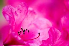 Roze macro Royalty-vrije Stock Fotografie