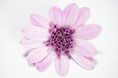 Roze madeliefje Stock Afbeeldingen