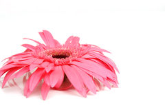 Roze madeliefje royalty-vrije stock fotografie