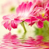 Roze madeliefje-gerbera Royalty-vrije Stock Afbeelding