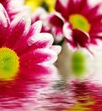 Roze madeliefje-gerbera die in het water wordt weerspiegeld Royalty-vrije Stock Foto