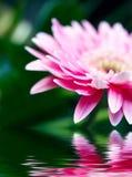 Roze madeliefje-gerbera met zachte nadruk die in Th wordt weerspiegeld Royalty-vrije Stock Fotografie