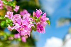 Roze madeliefje voor blauwe hemel met bloemen Royalty-vrije Stock Foto's