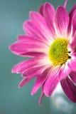 Roze madeliefjebloem Royalty-vrije Stock Afbeelding