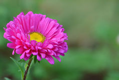 Roze madeliefjebloem Stock Fotografie