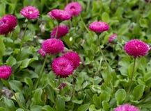 Roze madeliefjebloemen royalty-vrije stock foto