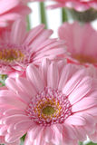 Roze madeliefjes Stock Afbeeldingen