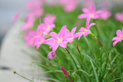 Roze Madeliefjes Royalty-vrije Stock Foto's