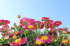 Roze Madeliefjes Royalty-vrije Stock Afbeelding