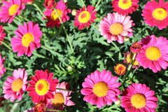 Roze Madeliefjes Stock Afbeelding