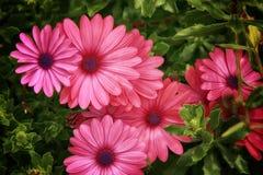 Roze Madeliefjes stock foto's