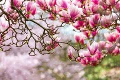 Roze magnolia Royalty-vrije Stock Fotografie