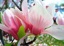 Roze magnolia royalty-vrije stock foto