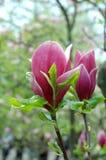 Roze magnolia stock foto