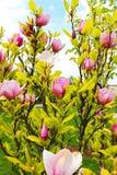 Roze magnolia Royalty-vrije Stock Afbeelding