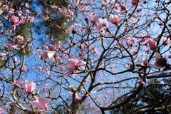 Roze magnolia stock fotografie