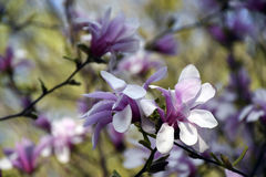Roze magnolia in bloei Stock Afbeelding