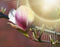 Roze magnolia - de Bloeiende boomlente Stock Foto's