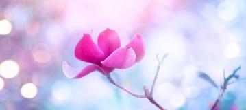 Roze magnolia Mooie aardsc?ne met bloeiende boom en zongloed De bloesem van de de lentemagnolia royalty-vrije stock fotografie