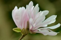 Roze Magnolia Stellata, of Stermagnolia; close-upfoto van een bloem royalty-vrije stock foto's