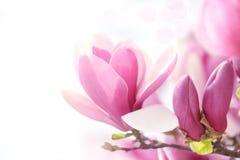 Roze magnoliabloem royalty-vrije stock afbeeldingen