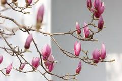 Roze magnoliabloem die op de tak tot bloei komen royalty-vrije stock afbeelding