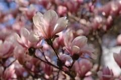 Roze magnoliabloemen stock afbeelding