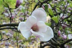 Roze magnoliabloemen Royalty-vrije Stock Fotografie