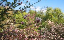 Roze magnoliabloemen Royalty-vrije Stock Afbeeldingen