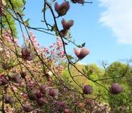 Roze magnoliabloemen Royalty-vrije Stock Foto