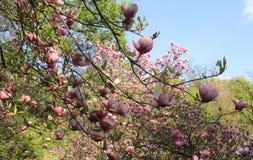 Roze magnoliabloemen Stock Afbeeldingen