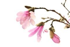 Roze magnoliabloemen die op wit worden geïsoleerd Stock Foto's