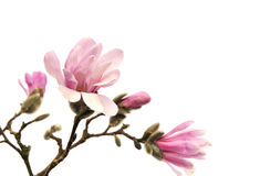 Roze magnoliabloemen die op wit worden geïsoleerd, Stock Afbeeldingen