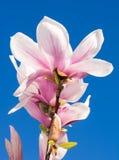 Roze Magnoliabloesems en blauwe hemel Stock Afbeelding