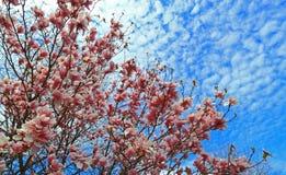 Roze magnoliaboom stock foto