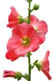 Roze malve Stock Afbeeldingen