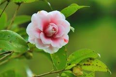Roze met rode Cameliabloem Stock Afbeelding