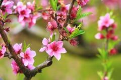 Roze met rode perzikbloemen Royalty-vrije Stock Afbeeldingen